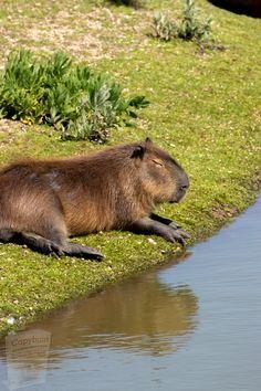 Capybara, Sleep Schedule, How To Stay Awake, Stay Cool, Brown Bear, Predator, How To Fall Asleep, Pets, Coconut