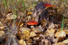 Мухомор красный (Amanita muscaria) фото грибов, лесной гриб мухомор Насекомые, Животные