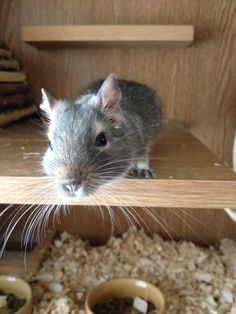 Whiskers! Smokey the degu being inquisitive.