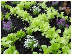 fastest way to plant a raised garden bed, gardening, raised garden beds, Garden Stamped lettuce pattern with Sweet Alyssum Plant Breeding, Organic Gardening Tips, Unique Gardens, Growing Tomatoes, Companion Planting, Farm Gardens, Raised Garden Beds, Raised Bed, Edible Garden