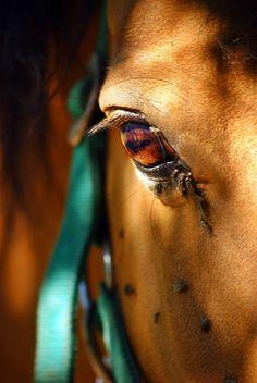 #ginger #gingerhorse #polishhorse #autumn #autumnhorse #horseeye