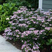 Tiny Tuff Stuff™ - Mountain Hydrangea - Hydrangea serrata | Proven Winners