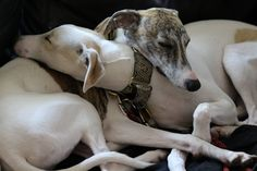 Love this - Whippets
