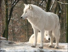 Los bellos lobos articos - Jesus Calavia - Google+