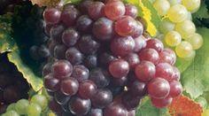 SAGRA DELL'UVA A BRICHERASIO | Strada Reale dei vini torinesi