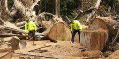Tala de árboles ilegal en Colombia