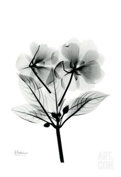 Impatiens • Albert Koetsier RADIOGRAPHX-RAY PHOTOGRAPHY / X-RAY ART More At FOSTERGINGER @ Pinterest