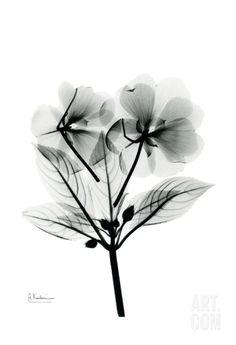 Impatiens • Albert Koetsier RADIOGRAPHX-RAY PHOTOGRAPHY / X-RAY ART More At FOSTERGINGER @ Pinterest