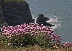 South Stack Cliffs Slideshow - Thrift - South Stack Cliffs - The RSPB Community