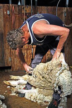 2 Pair VINTAGE STEEL SHEEP SHEARS Wool Cutters and Vtg ...
