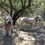 When Linky met Ama at Runyon Canyon #thekerrydiaries #lincoln #wheaten #wheatenterrier #losangeles #la #runyoncanyon #dogs #puppy