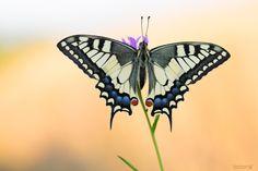 5 geniale Tipps von Andreas Kolossa wie man Schmetterlinge am besten fotografieren kann! #Schmetterling #Schmetterlinge #Fotografie #Makrofotografie #Schwalbenschwanz