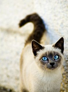 Check out the eyes on this beautiful Siamese cat…..