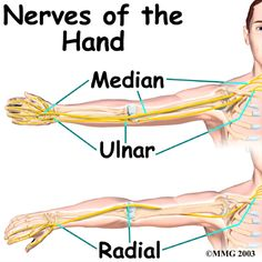 Hand Anatomy, Median, Radial, Ulnar Nerves