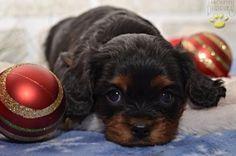 ♥ Adorably Cute ♥ #CavalierKingCharlesSpaniel #KingCharles #Cavalier #CavalierKingCharles #Spaniel #CavalierLove #BuckeyePuppies #Puppies #Pups #Pup #Puppy #Funloving #Sweet #PuppyLove #Cute #Cuddly #ForTheLoveOfADog #MansBestFriend #dog #puppy #pets #animals #Dog #Pet #Pets #ChildrenFriendly #PuppyandChildren #ChildandPuppy #ChristmasPuppy #APuppyForChristmas #PerfectChristmasGift www.BuckeyePuppies.com
