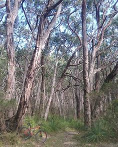This is my single speed mtb in The Great Otway National Park near Apollo Bay. This is Red Ridge Road  which is surrounded by these spectacular trees.  #singlespeed #mtb #mountainbike  #mtblife #bicycle #29er #bike #Instabike #igersmtb  #mtbporn  #cycling #instabike #lovethedirt #aussiebush #outdoorisfree #wymtm  #mountainbiking  #ridemoremtb #instamtb #trees #gumtrees  #greatoceanroad #Otwayranges  #gravel #aussiecycling #aussiesummer #iamspecialized #Apollobay #notbeachroad #nofilter by…