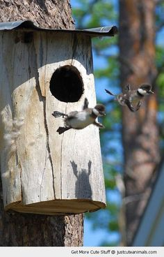 baby ducks chicks birds jumping tree first flight fly cute animals wild wildlife species planet earth nature pics pictures photos images