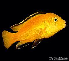 Lemon Yellow Mbuna Cichlid