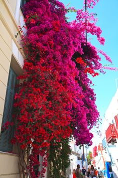 beautiful bougainvillea in Mykonos, Greece
