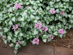 I love Lamium.  I planted some this summer and it did well until we got about 3 weeks of nothing but rain.  I hope it comes back next year!