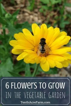 6 Flowers to Grow in the Vegetable Garden: Flowers in the vegetable garden can improve biodiversity and reduce the incidence of pests. There are plenty of flowers that can be planted throughout the vegetable garden, but here are my six favorite flowers chosen for their ability to support vegetable crops.