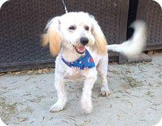 Burbank, CA - Maltese/Poodle (Miniature) Mix. Meet Lenny, a dog for adoption. http://www.adoptapet.com/pet/13345210-burbank-california-maltese-mix