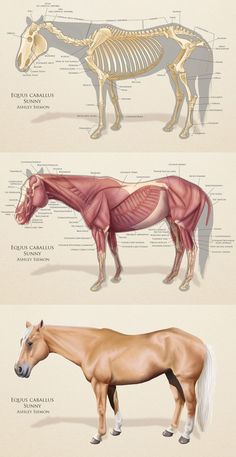 cricks:  My horse anatomy study for my class, Intro to Animal Drawing and Anatomy at AAU. There's a lot to fix, but I scored a B :)