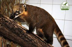 Auch der Südamerikanische Nasenbär, der nächste Verwandte des Waschbären, wird in der Privathaltung immer beliebter.
