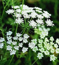 Queen Anne's Lace - Queen Anne's Lace  This easy-growing cut flower offers umbrella-shaped clusters of lacy blooms in mid to late summer. A relative of the carrot, it has a taproot and doesn't transplant well, but it reseeds gregariously.  Plant Name: Daucus carota  Growing Conditions: Full sun and well-drained soil  Size: To 4 feet tall and 1 foot wide  Zones: Biennial in Zones 4-8