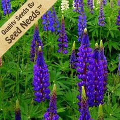 """60 Seeds, Lupine """"Wild Perennial"""" (Lupinus perennis) Seeds By Seed Needs by Seed Needs: Wildflower Mixes. $1.85. Deer Resistant: Yes. Depth: 1/8 inch. Light Required: Yes. Soil Type: Well-drained, pH 5.6 - 7.5. Easy planting instructions printed on each Seed Needs packet along with a colorful picture of the plant.. Bloom Season: Spring through summer. Bloom Color: Violet blue. Average Germ Time: 14 - 35 days. Quality Lupine seeds packaged by """"Seed Needs"""". Temper..."""