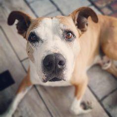 Pitbulls, Dogs, Animals, Animales, Pit Bulls, Animaux, Pet Dogs, Pitbull, Doggies