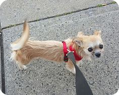 Bronx, NY - NEW BEGINNING ANIMAL RESCUE - Chihuahua/Terrier (Unknown Type, Small) Mix. Meet Honey Bun, a puppy for adoption. http://www.adoptapet.com/pet/15377091-bronx-new-york-chihuahua-mix