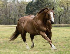 Go West Quarter Horses