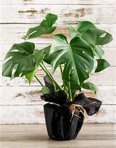 Perfect plants Gifts , Netflorist offers a range of plants Gifts. Order Plants Online, Same Day Delivery Service, Green Monsters, Perfect Plants, Indoor Plants, Planting Flowers, Birthday, Interior, Inside Plants