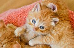 cute fluffy ginger kitten beautiful eyes