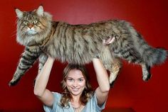 15 Maine Coon Cats Who Are So Large They Make Their Humans Look Tiny.