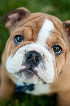 AHHHHHHHHHHHhh!!!!!!!! Bulldog pup.....my heart.