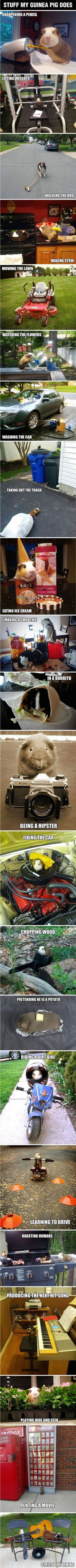 Stuff My Guinea Pig Does. Stuff My Guinea Pig Does… funny cute animals adorable animal pets humor funny animals funny pets Funny Animal Quotes, Funny Animal Videos, Funny Animal Pictures, Cute Funny Animals, Funny Cute, Funniest Pictures, Hilarious Pictures, Funny Photos, Animals For Kids