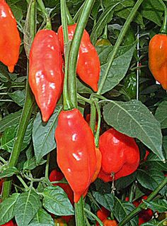 Chilli Pepper Hot Paper Lantern: This is easier to grow than some Habaneros as it is more vigorous and ripens earlier. It's a hot one with a smoky taste. Use sparingly in spicy dishes.
