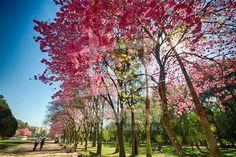 Ipês floridos no Parque Farroupilha. O Parque Farroupilha, também conhecido como Parque da Redenção, é o parque mais tradicional e popular de Porto Alegre, sendo um local tradicionalmente visitado pelos porto-alegrenses nas horas de descanso, seja para praticar esportes ou simplesmente tomar um chimarrão com a família.