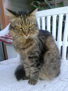 Jerry http://www.mainecoonguide.com/maine-coon-temperament/