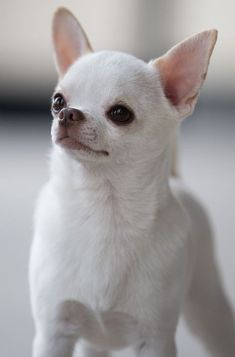"""Chihuahua Dogs International and American Champion Sonnus Filho (Sanchez) """"Sonnito"""" from Mexico. The top winning Chihuahua of all time. White Chihuahua, Teacup Chihuahua, Chihuahua Love, Chihuahua Puppies, Cute Puppies, Cute Dogs, Dogs And Puppies, Animals And Pets, Baby Animals"""
