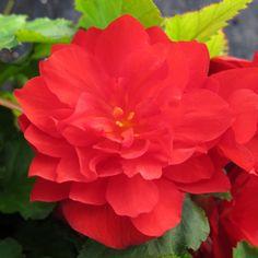 scarlet begonia: deep thoughts