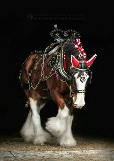 (Clydesdale Horse~Beautiful) * * HE KNOWS IT,TOO! I would love to have a team of Clydesdales pulling a sleigh at Christmas time. How awesome that would be. Big Horses, Work Horses, Horses And Dogs, Pretty Horses, Horse Love, Beautiful Horses, Animals Beautiful, Black Horses, He's Beautiful