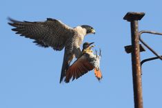 """""""Let me show you the world!"""" Peregrine Falcon with Northern Flicker prey : natureismetal Wild Animals Videos, Animals And Pets, Badass Pictures, Northern Flicker, Birds Of Prey, Flying Birds, Peregrine Falcon, Creature Design, Beautiful Birds"""