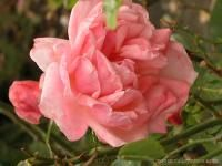 Rogue Valley Roses | Specializing in rare, antique, and exceptional roses.