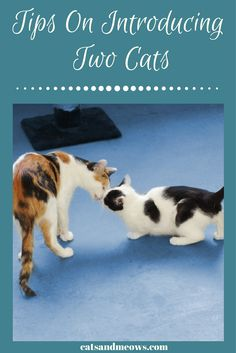 Cat toilet training in easy steps: Toilet training your cat is an easier task than you might think. Several techniques can be used for training your cat to use Raising Kittens, Cats And Kittens, Siamese Cats, Cats Meowing, Cats Bus, Kitty Cats, Cat Toilet Training, Cat Plants, What Cat