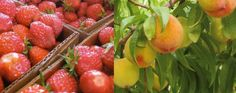 Fall Creek Farms - pick your own strawberries and peaches! Check out: www.upicktx.com