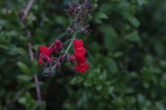 Island Snapdragon (Galvezia speciosa 'Boca Rosa'), Playa Del Rey #CaliforniaNativePlants #BloomingNowLA
