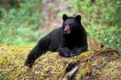 Pic of the Day...A  black bear at the Tom Jones shelter - My #HarrimanStatePark  #Bear #hudsonvalley